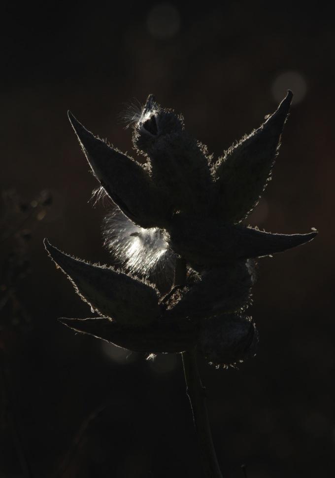 milkweed-bird-crop-minor-contrast-img_8924